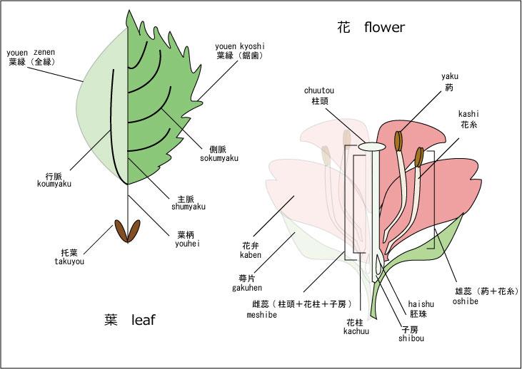 葉-花構造